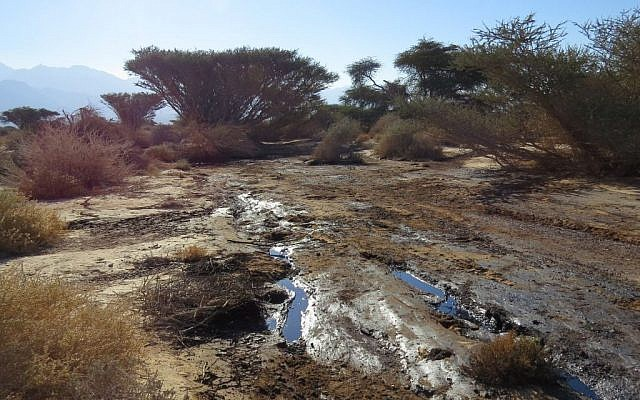 Plants covered in oil at the area where three weeks there was a large oil leak in the Arava area of Southern Israel, on December 24, 2014, (photo credit: Roy Talbi/Israeli Environmental Protection Ministry)