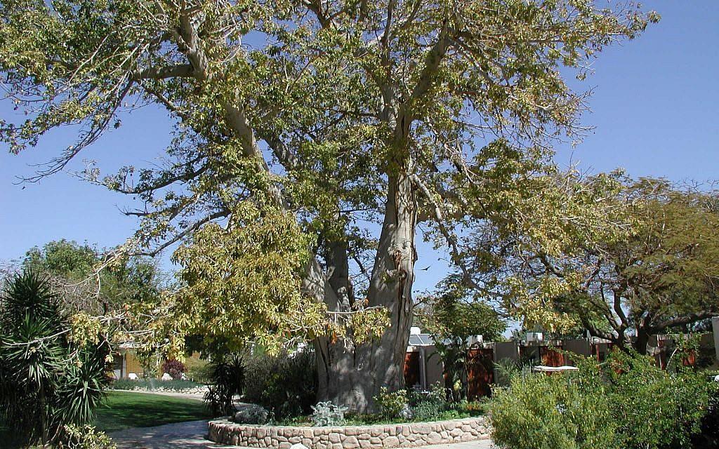 Baobab trees at Ein Gedi Botanical Gardens (photo credit: Shmuel Bar-Am)