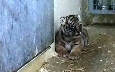 One of the Sumatran tiger cubs that was born in the Jerusalem Biblical Zoo. (photo credit: Courtesy Jerusalem Biblical Zoo)