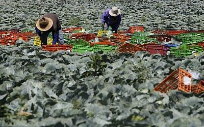Thai foreign workers working in a cabbage field, near kibbutz Beerim, southern Israel. July 16, 2014. (photo credit: Miriam Alster/FLASH90)