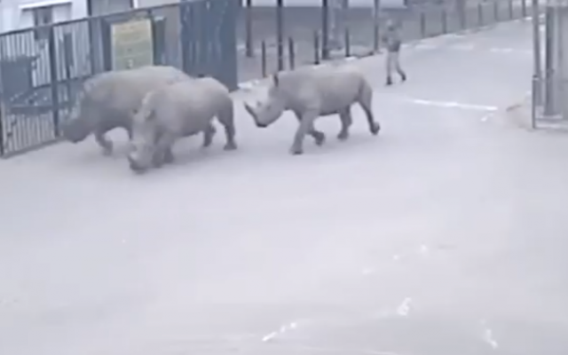 The rhinos on the run from Ramat Gan safari on January 1, 2015 (screen capture: Channel 2)