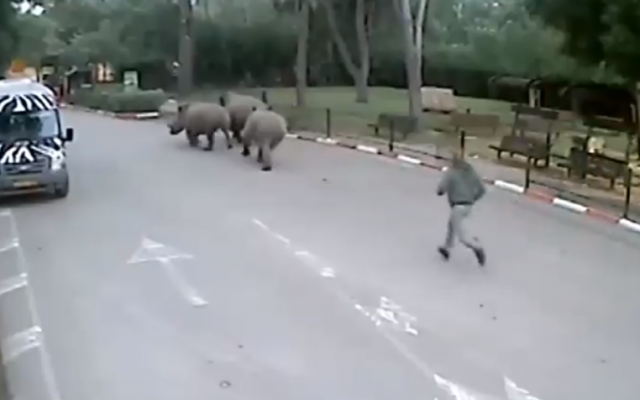 The rhinos on the run from Ramat Gan safari on January 1, 2015, with a keeper in hot pursuit (screen capture: Channel 2)