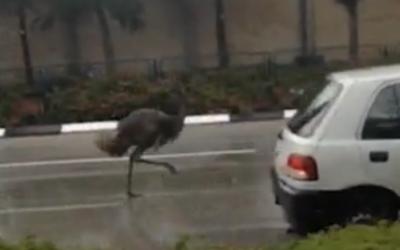 A runaway emu on the roads of Herzliya, January 4, 2014 (Ynet screenshot)