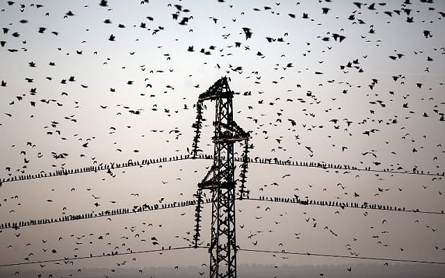 A flock of starlings near the southern Arab Israeli city of Rahat, in the northern Israeli Negev desert, on February 2, 2015 (photo credit: AFP/MENAHEM KAHANA)