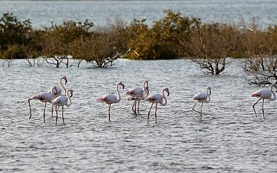 Flamingos stand in a water reservoir on Sir Bani Yas Island, one of the largest natural islands in the United Arab Emirates on November 27, 2014. (photo credit: AFP PHOTO / KARIM SAHIB)