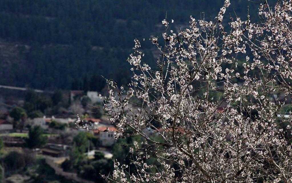 Almond trees in bloom at Sataf, near Jerusalem (photo credit: Yossi Zamir/Flash90)
