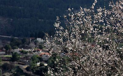 Almond trees in bloom at Sataf, near Jerusalem (photo credit: Yossi Zamir/Flash90)