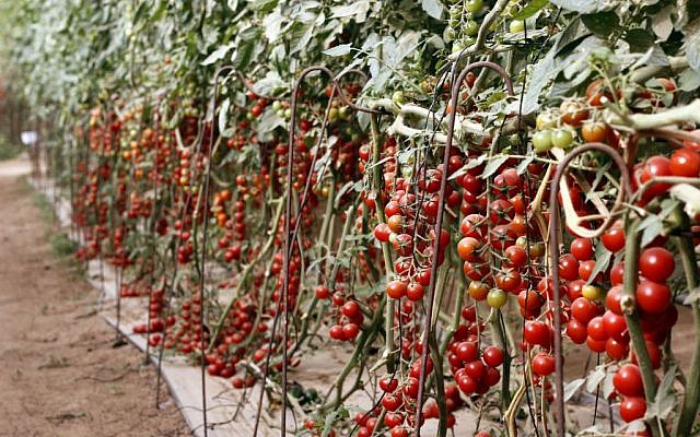 Uri Alon grows 15 kinds of cherry tomatoes of all different colors and tastes in his pick-your-own greenhouses. (photo credit: Judah Ari Gross/Times of Israel)