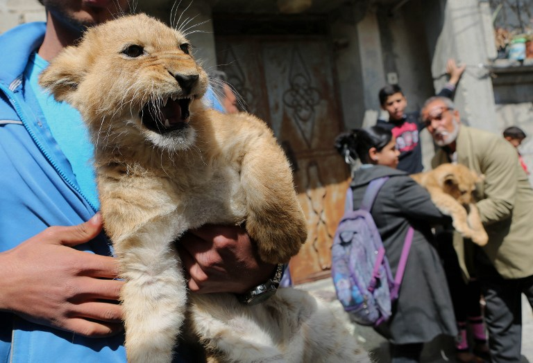The grandchildren of Palestinian man Saad al-Jamal, pet two lion cubs outside their family house in the Rafah refugee camp in the southern Gaza Strip, on March 19, 2015. (photo credit: Said Khatib/AFP)