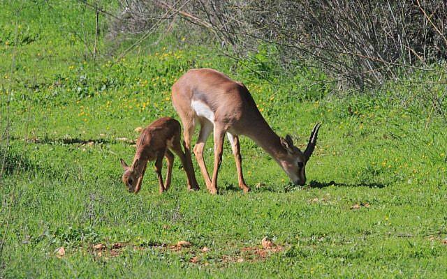 Gazelles grazing in a protected park in Jerusalem. (Amir Balaban)