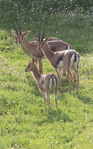 The herd of gazelles grows in Gazelle Valley (photo credit: Amir Balaban)