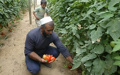 A Palestinian farmer picks tomatoes at his farm in the town of Rafah in the southern Gaza strip, 08 August 2007. (photo credit: Ahmed Khateib /Flash90)