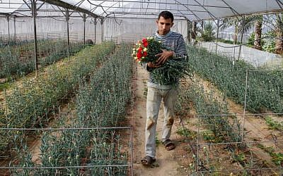 A Palestinian farmer harvests flowers at his greenhouse in the southern Gaza Strip town of Rafah, on December 20, 2014. (photo credit: Abed Rahim Khatib/Flash90)
