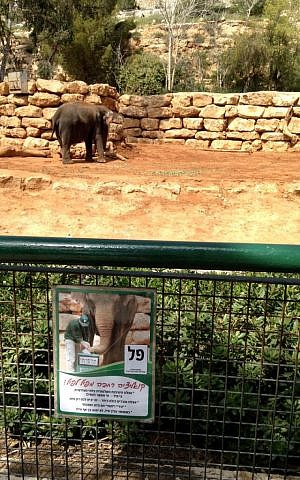 A 'campaign'  poster for the elephant in the Jerusalem Biblical Zoo' s ' Most Popular Animal'  elections, held on March 17, 2015. (photo credit: Times of Israel/Stuart Winer)