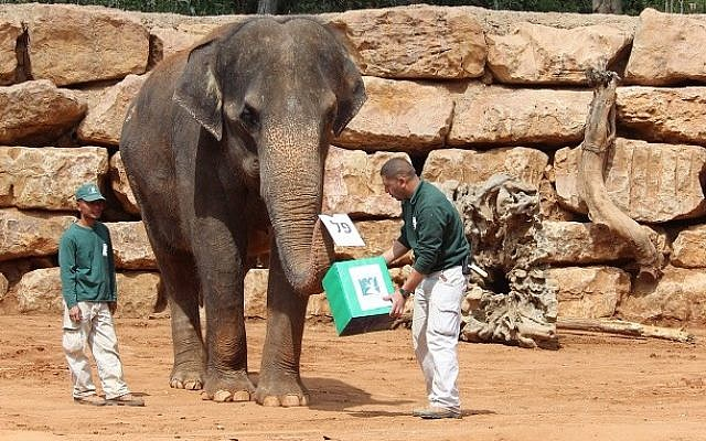 An elephant 'votes' in the Jerusalem Biblical Zoo's election to find the King of the Animal Kingdom, March 17, 2015. (photo credit: Shai Ben Ami/Jerusalem Biblical Zoo)