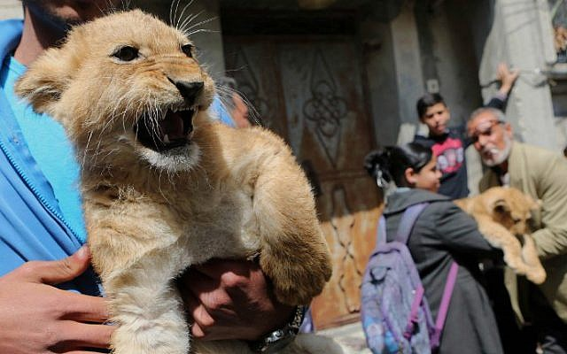 The grandchildren of Palestinian man Saad al-Jamal, pet two lion cubs outside their family house in the Rafah refugee camp in the southern Gaza Strip, on March 19, 2015 (photo credit: AFP/ SAID KHATIB)