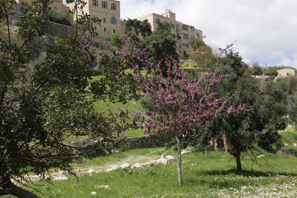 Mediterranean rosebud blooms in the Hinnom Valley  (Photo credit: Shmuel Bar-Am)