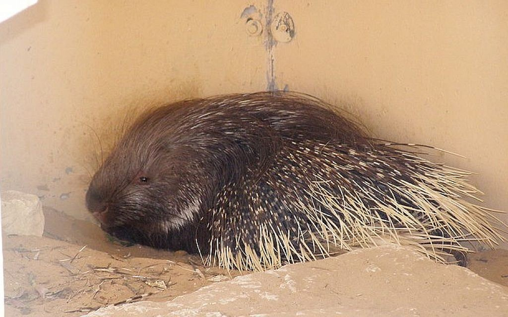 Porcupines: They're back.... | PetFocus Eastern Shore Veterinary Hospital | 640x1024