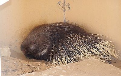 Indian crested porcupine (photo credit: Wikimedia Commons/ Felagund CC BY-SA 3.0)
