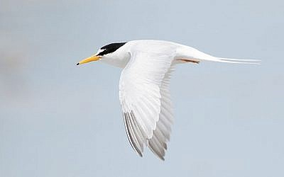 Little Tern (Sternula albifrons), Little Swanport, Tasmania, Australia, (photo credit: Wikipedia / JJ Harrison, CC BY-SA 3.0)