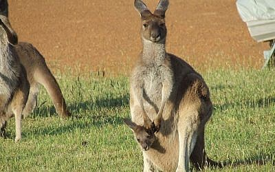 A kangaroo jill and her joey (public domain, Tom Lind via Wikimedia Commons)