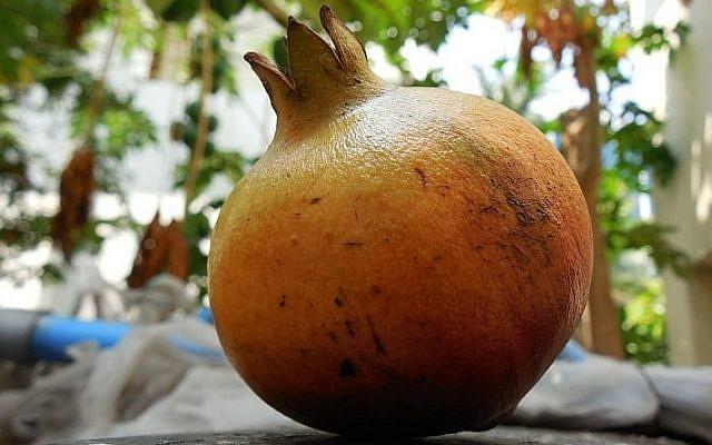 A pomegranate (Photo credit: CC-BY-SA Aravind Sivaraj/Wikimedia Commons)