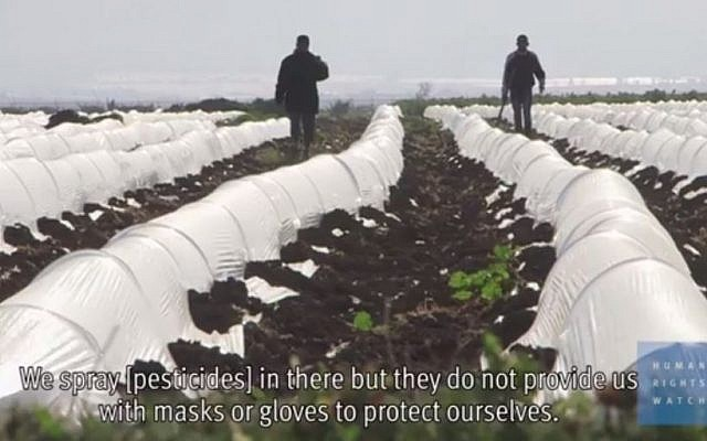 Farms on Israeli settlements in the West Bank are using Palestinian child labor to grow, harvest, and pack agricultural produce, much of it for export, Human Rights Watch said in a report released released April 13, 2015. (Screencapture: YouTube)