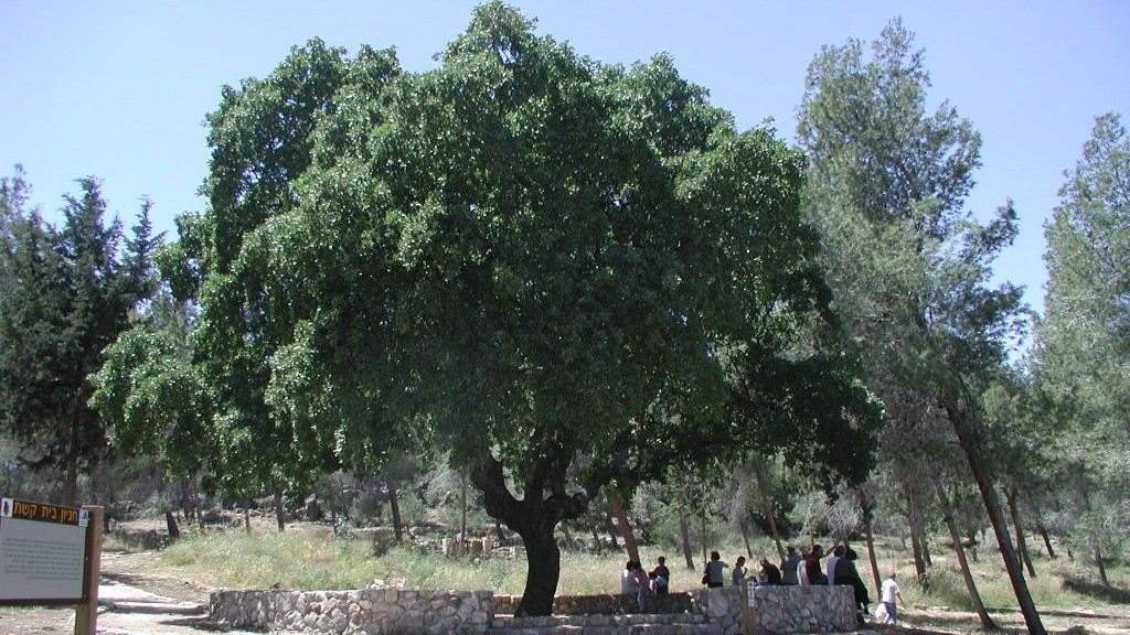 The Old Oak at the Beit Keshet picnic area (photo credit: Shmuel Bar-Am)