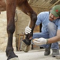Ovidiu Rosu, a veterinarian from the animal welfare charity Four Paws, treats an injured horse used for transporting visitors at the ancient city of Petra in Jordan on March 25, 2015. Four Paws and the Jordanian Princess Alia Foundation (PAF) work for the improvement of the health and working conditions of horses and donkeys in Petra, providing veterinary treatment and training for the owners. Photo credit: AFP/ KHALIL MAZRAAWI)