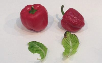 On the left, a pepper and lettuce leaf treated with the new solution after a week without refrigeration; on the right, untreated produce (Photo credit; Courtesy)