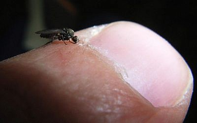 An illustrative photo of a sand fly biting a human finger. (photo credit: Wikimedia Commons/Emilio Floris)