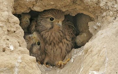 Illustrative photo of a falcon with its young (photo credit: Haim Shohat/Flash90)