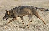 An illustrative photo of a gray wolf (Carlos Delgado/Wikimedia Commons)
