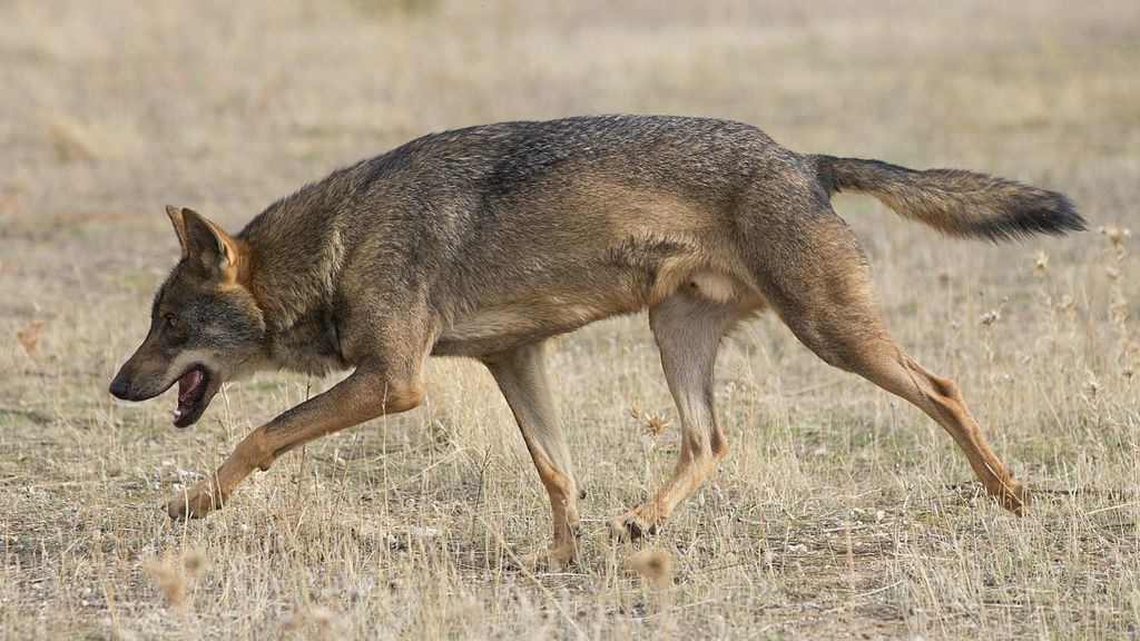 Wolves in Israel are raiding campsites to snatch children, experts warn
