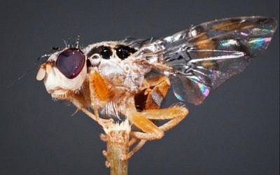 This BioBee sterile fly can help minimize the use of poisonous pesticides. (Courtesy BioBee)