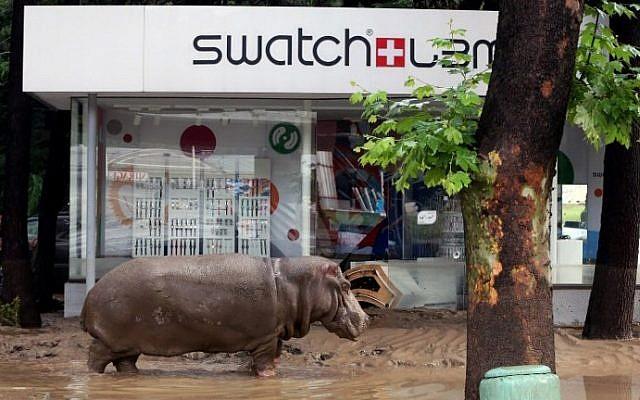 A hippopotamus walks along a flooded street in the Georgian capital of Tbilisi on June 14, 2015. (Beso Gulashvili/AFP)