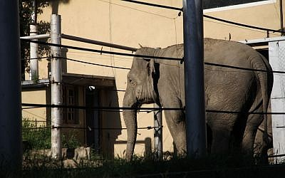 An elephant that had previously escaped from a flooded zoo stands behind bars of its cage inside the zoo in Tbilisi, Georgia, on June 14, 2015.  (Tinatin Kiguradze/AP)