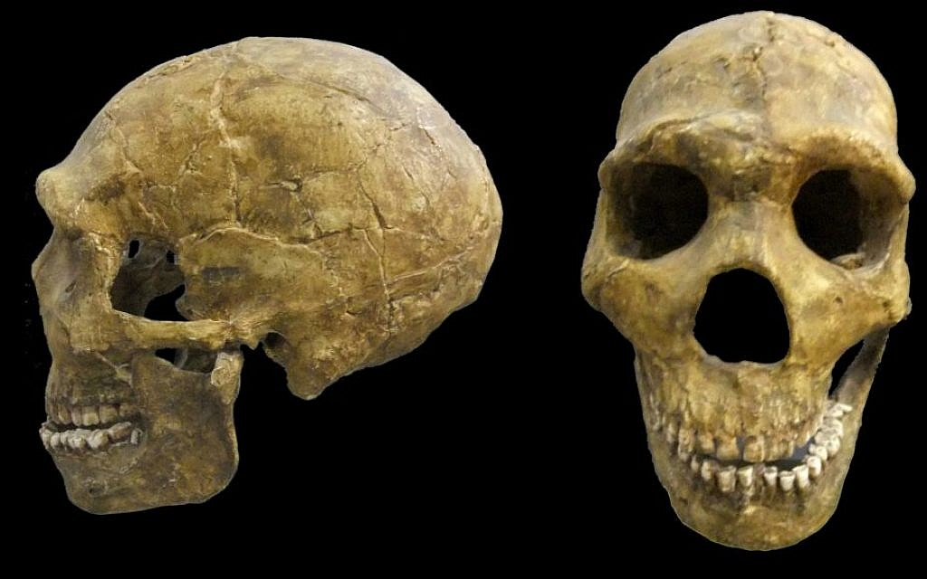 A skull of Neanderthal man, Amud Cave, Middle Paleolithic Period, ca. 60,000 years ago (Courtesy Israel Museum)