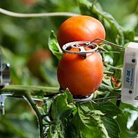 Sensors attached to tomato plants. (Courtesy)