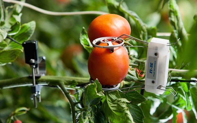 Sensors attached to tomato plants. (Courtesy)