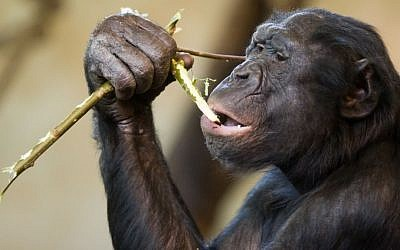 A Bonobo ape. (Jeroen Kransen/Flickr/CC BY-SA 2.0)