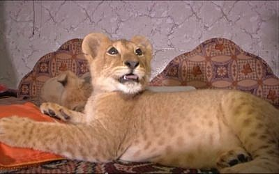 File: A lion cub bought by a Gaza man is seen in June 2015 in the home where he was raised for the past several months by a Palestinian family. An animal rights charity convinced the family to give up the big cats for a better life in a lion shelter in Jordan (Screen capture YouTube)