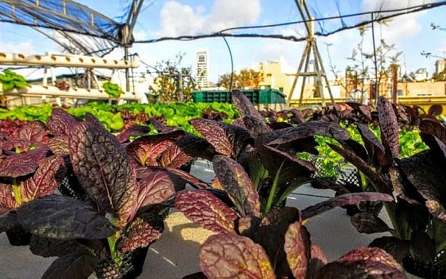 Falk envisions network of roof-top hydroponics systems could provide vegetables for each neighborhood in Tel Aviv. (photo courtesy Green in the City)