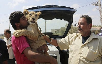 Ibrahim Al-Jamal, 17, hugs Mona, the female lion cub, as his father Saduldin, 54, strokes her as they wait to leave from Gaza to the Erez border crossing between Israel and the Gaza Strip, in Beit Hanoun, in the northern Gaza Strip, Friday, July 3, 2015. (AP /Adel Hana)
