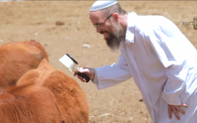 A researcher with the Temple Institute examines one of the red cows born from imported frozen embryos to ensure the cow does not have any white or black hairs, which would render it impure. (courtesy Temple Institute)