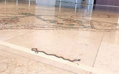 A non-venomous snake was found in the Knesset's Chagall State Hall on Wednesday, July 29, 2015. (David Zviel)