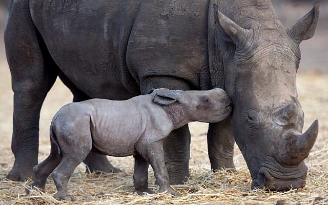 A newborn square-lipped rhinoceros is seen with her six-year old-mother, Keren Peles, at the Ramat Gan Safari zoo near Tel Aviv on August 24, 2015. (AFP PHOTO/MENAHEM KAHANA)