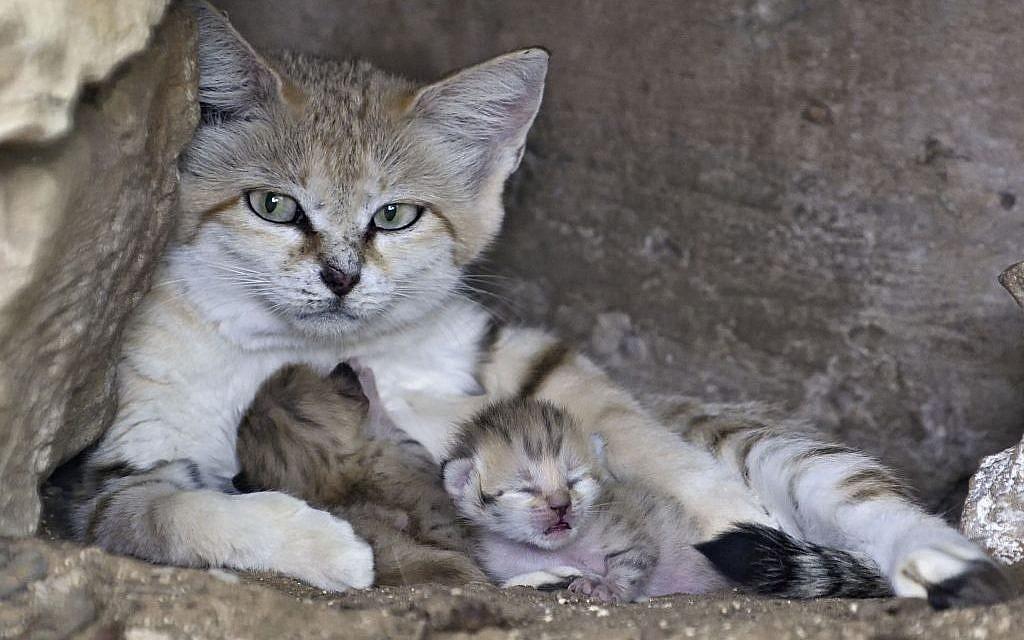 WATCH: Newborn sand kittens delight at Israeli zoo