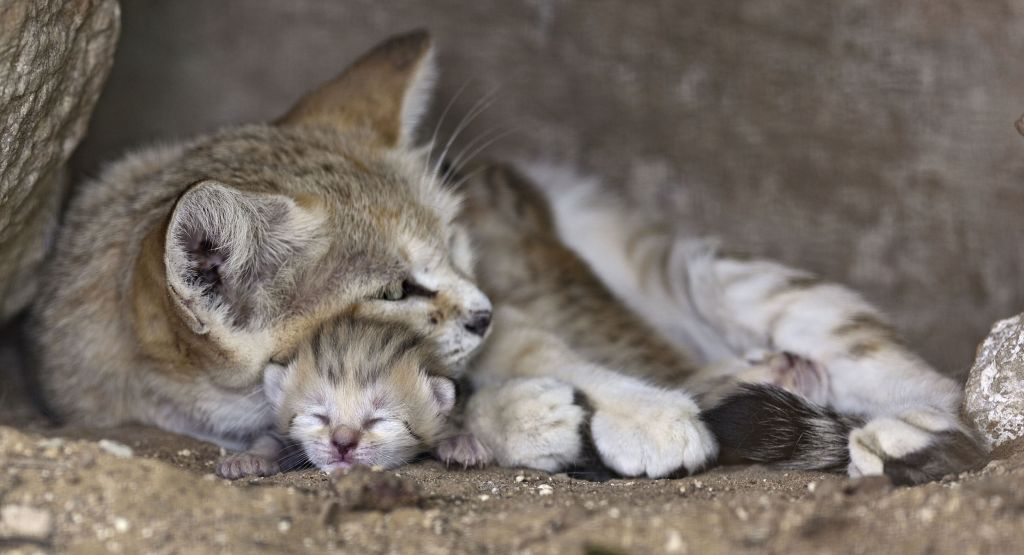 Rotem the sand cat with her three new cubs at the Ramat Gan Safari, August 18, 2015. (courtesy)