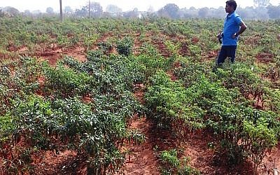 A chili pepper field in India where NRGene has been developing breeds of chili peppers that farmers can plant in drip irrigation-watered fields. NRGene mapped the chili pepper genome last year (Courtesy)
